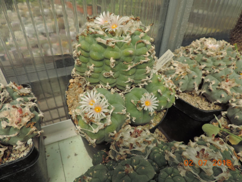 Cacti and Sukkulent in Köln, every day new flowers in the greenhouse Part 195 Bild_515