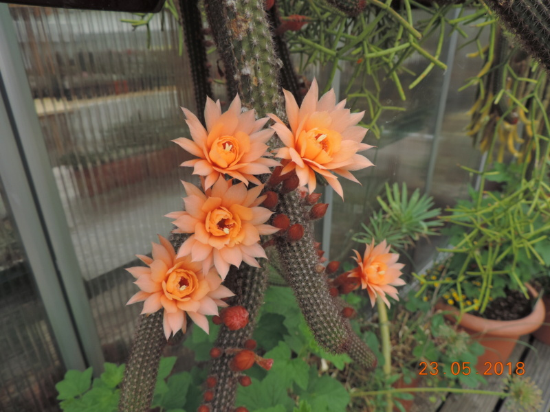 Cacti and Sukkulent in Köln, every day new flowers in the greenhouse Part 195 Bild_519