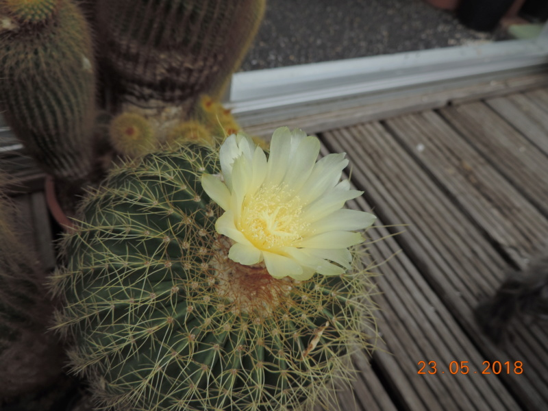 Cacti and Sukkulent in Köln, every day new flowers in the greenhouse Part 195 Bild_520