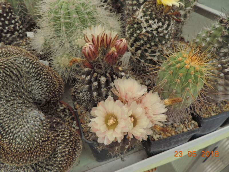 Cacti and Sukkulent in Köln, every day new flowers in the greenhouse Part 195 Bild_524