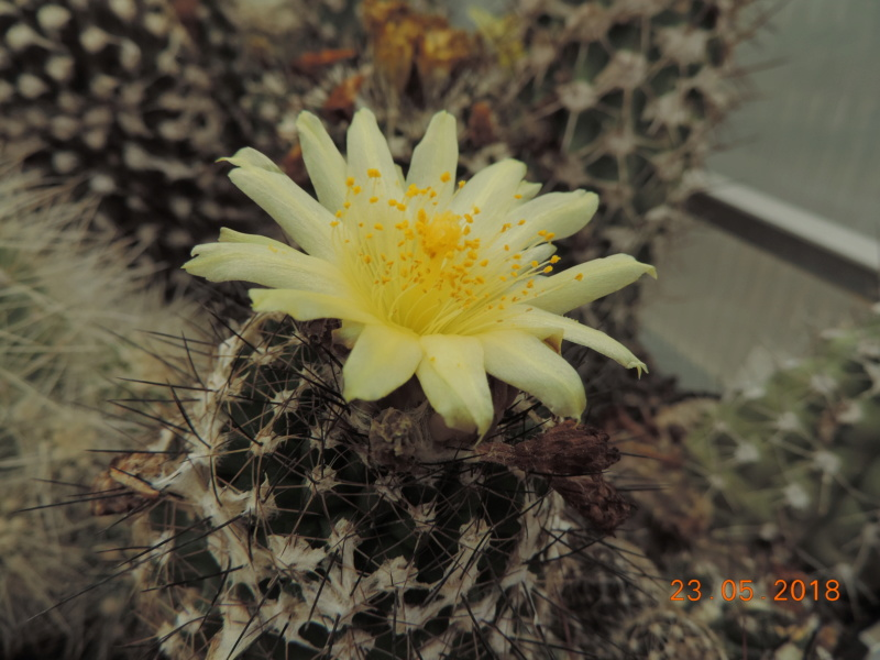 Cacti and Sukkulent in Köln, every day new flowers in the greenhouse Part 195 Bild_525