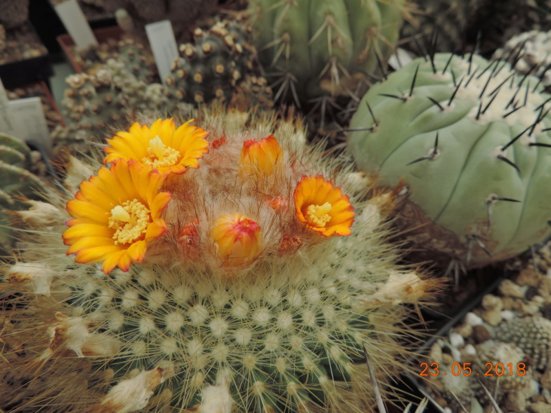 Cacti and Sukkulent in Köln, every day new flowers in the greenhouse Part 195 Bild_527
