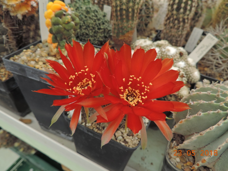 Cacti and Sukkulent in Köln, every day new flowers in the greenhouse Part 195 Bild_528