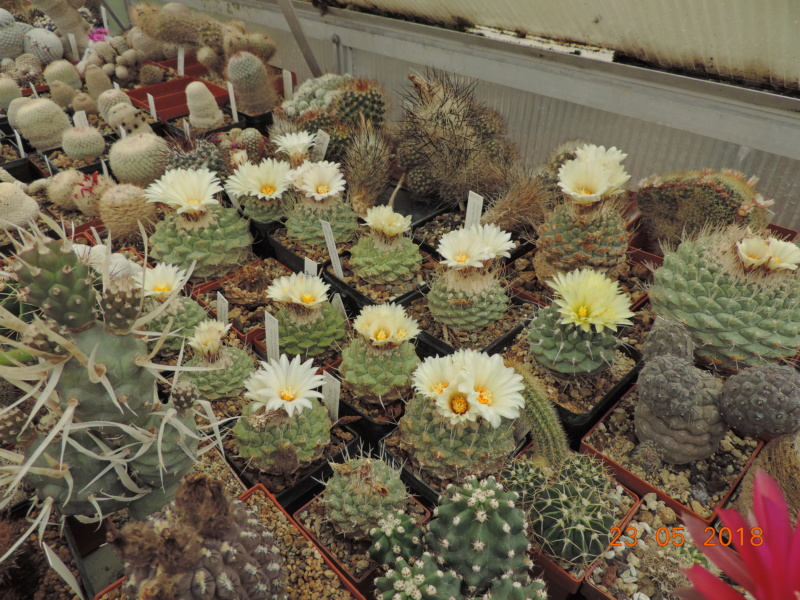 Cacti and Sukkulent in Köln, every day new flowers in the greenhouse Part 195 Bild_529