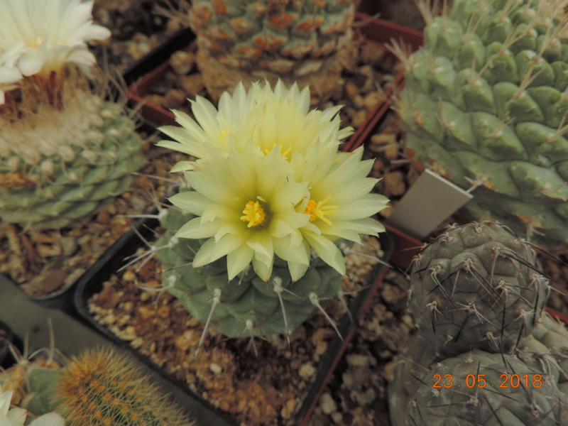 Cacti and Sukkulent in Köln, every day new flowers in the greenhouse Part 195 Bild_530