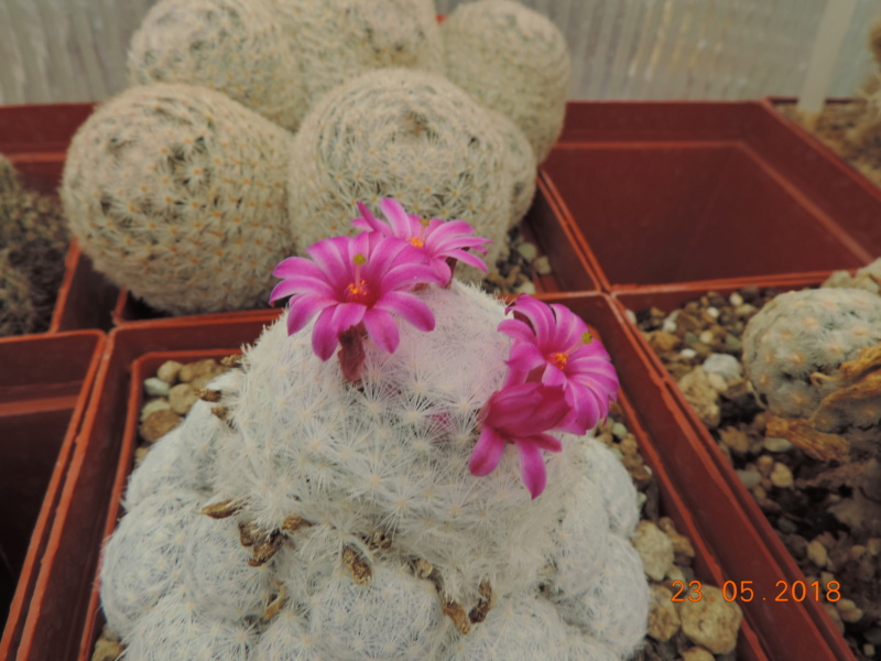 Cacti and Sukkulent in Köln, every day new flowers in the greenhouse Part 195 Bild_533