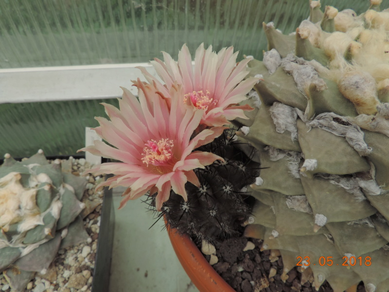 Cacti and Sukkulent in Köln, every day new flowers in the greenhouse Part 195 Bild_535