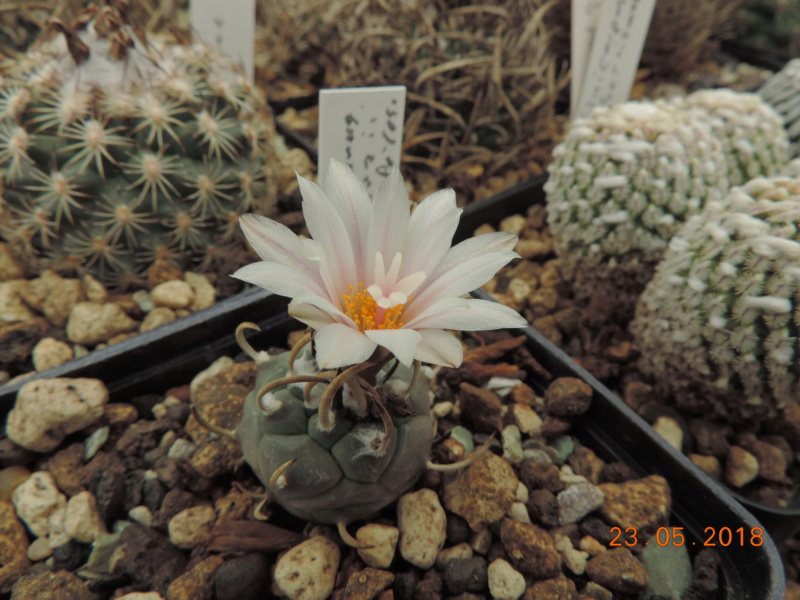 Cacti and Sukkulent in Köln, every day new flowers in the greenhouse Part 195 Bild_537