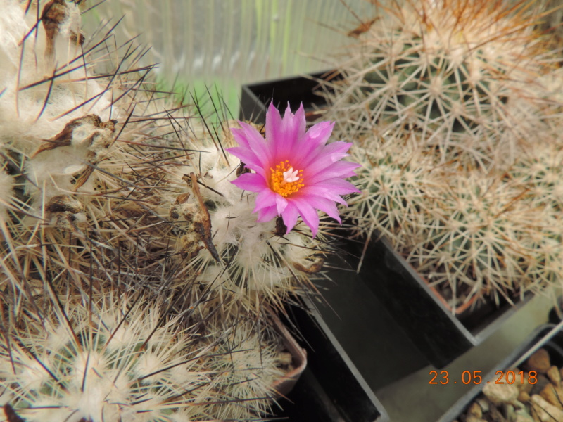 Cacti and Sukkulent in Köln, every day new flowers in the greenhouse Part 195 Bild_542