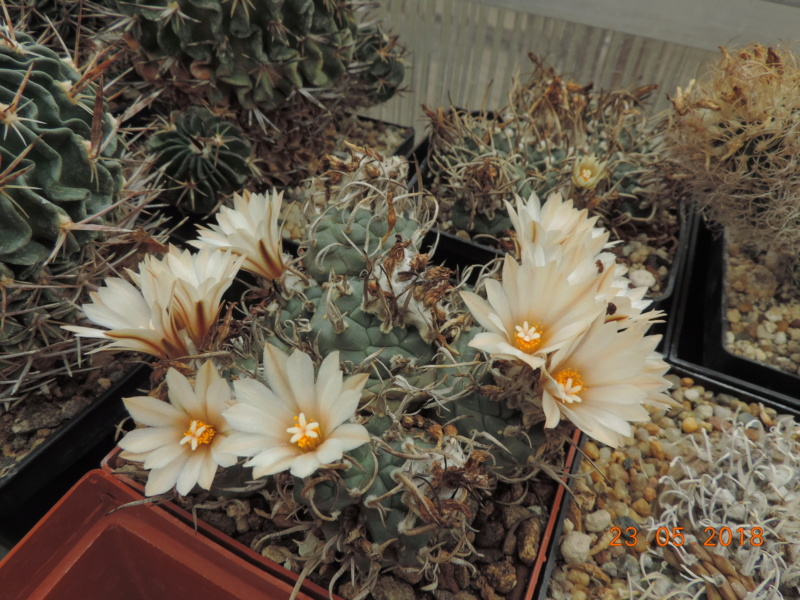 Cacti and Sukkulent in Köln, every day new flowers in the greenhouse Part 195 Bild_543