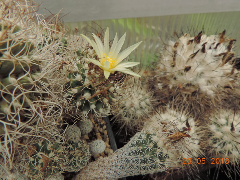 Cacti and Sukkulent in Köln, every day new flowers in the greenhouse Part 195 Bild_545