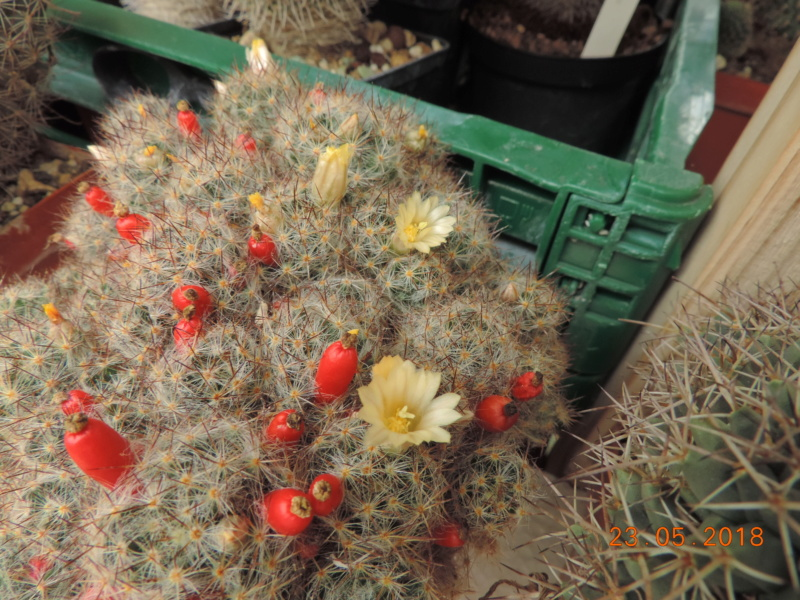 Cacti and Sukkulent in Köln, every day new flowers in the greenhouse Part 195 Bild_546