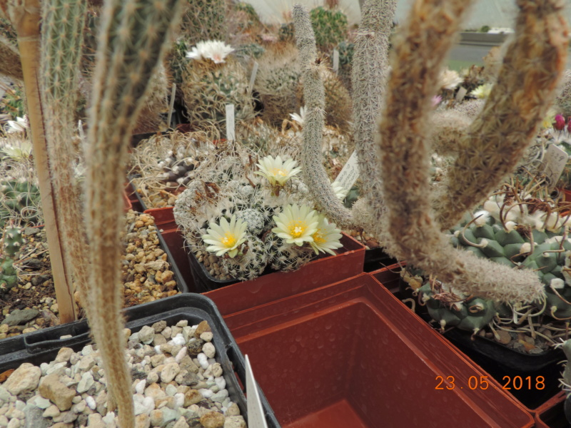 Cacti and Sukkulent in Köln, every day new flowers in the greenhouse Part 195 Bild_547