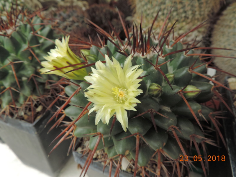 Cacti and Sukkulent in Köln, every day new flowers in the greenhouse Part 195 Bild_549