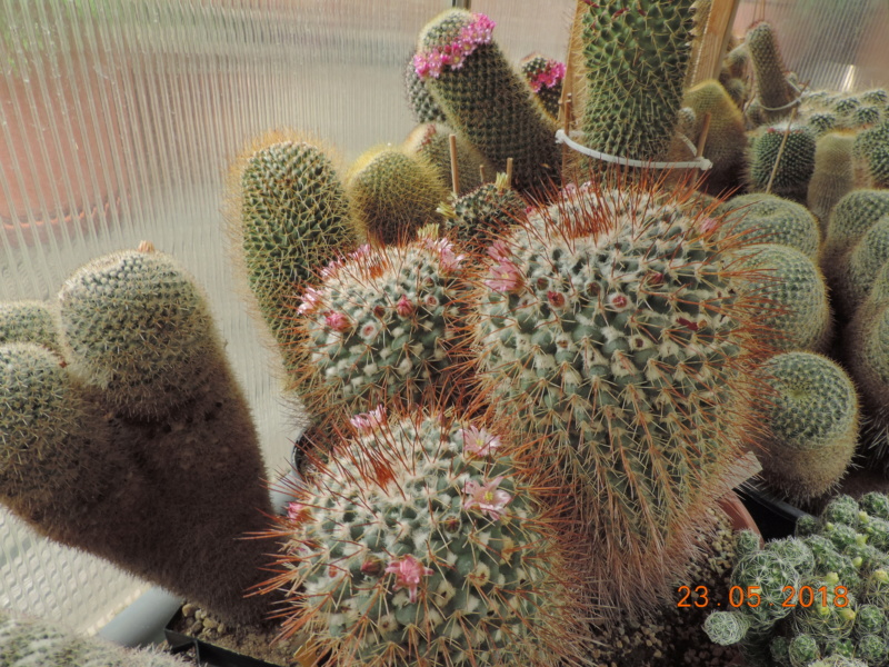 Cacti and Sukkulent in Köln, every day new flowers in the greenhouse Part 195 Bild_554