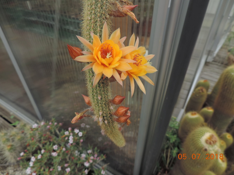 Cacti and Sukkulent in Köln, every day new flowers in the greenhouse Part 195 Bild_556
