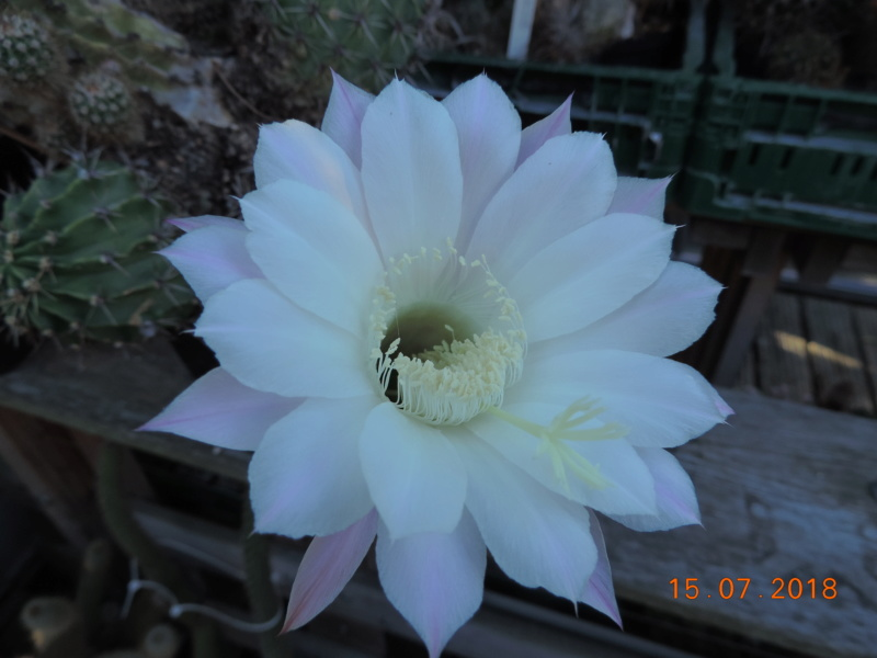 Cacti and Sukkulent in Köln, every day new flowers in the greenhouse Part 196 Bild_563
