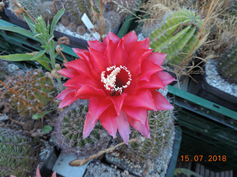 Cacti and Sukkulent in Köln, every day new flowers in the greenhouse Part 196 Bild_565