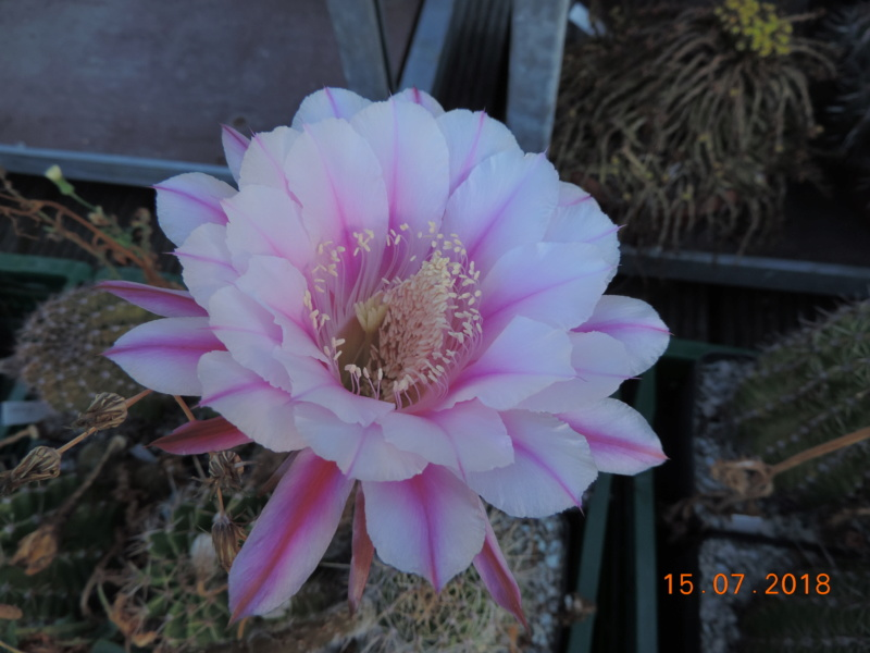 Cacti and Sukkulent in Köln, every day new flowers in the greenhouse Part 196 Bild_570