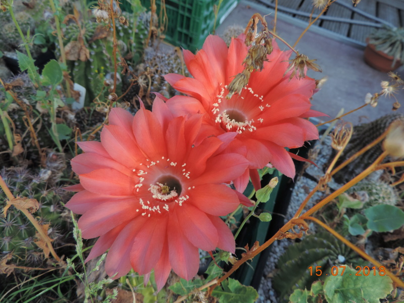 Cacti and Sukkulent in Köln, every day new flowers in the greenhouse Part 196 Bild_572