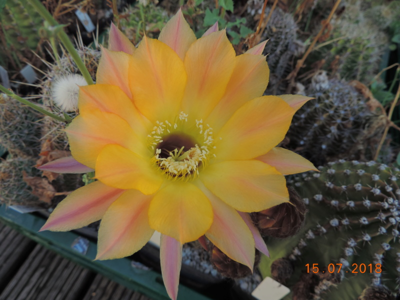 Cacti and Sukkulent in Köln, every day new flowers in the greenhouse Part 196 Bild_573