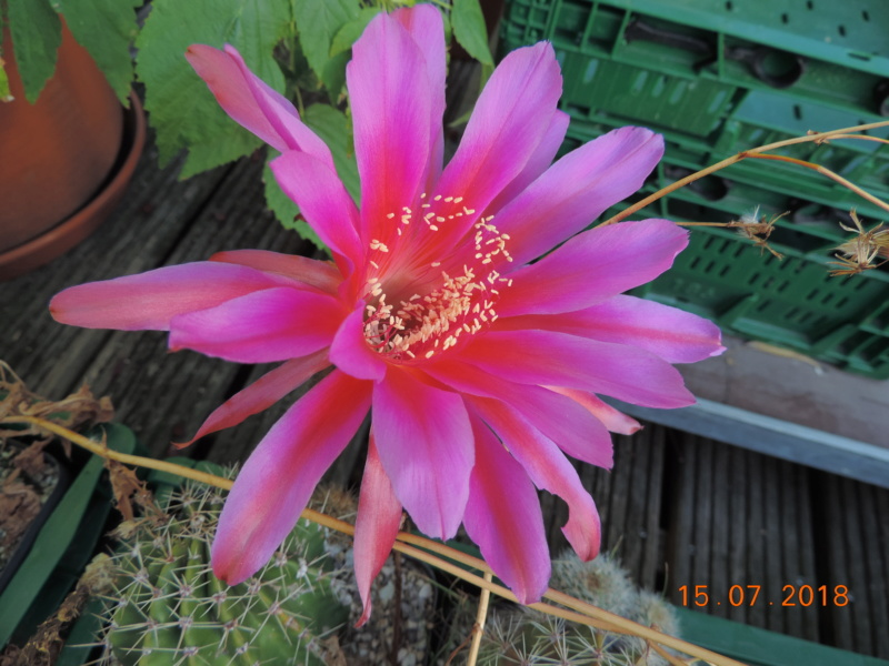 Cacti and Sukkulent in Köln, every day new flowers in the greenhouse Part 196 Bild_574