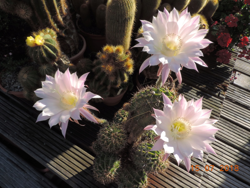 Cacti and Sukkulent in Köln, every day new flowers in the greenhouse Part 196 Bild_577