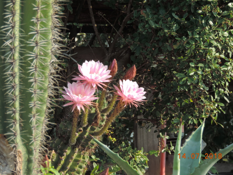 Cacti and Sukkulent in Köln, every day new flowers in the greenhouse Part 196 Bild_586