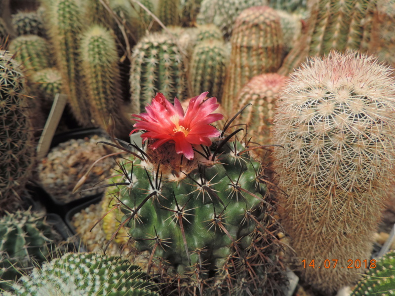 Cacti and Sukkulent in Köln, every day new flowers in the greenhouse Part 196 Bild_592