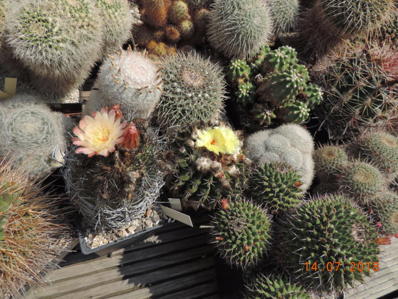Cacti and Sukkulent in Köln, every day new flowers in the greenhouse Part 196 Bild_593