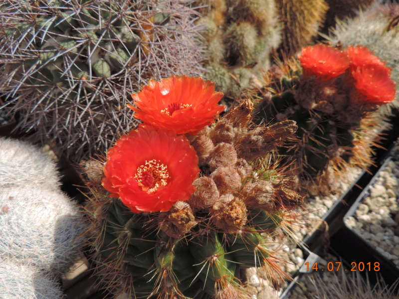 Cacti and Sukkulent in Köln, every day new flowers in the greenhouse Part 196 Bild_594