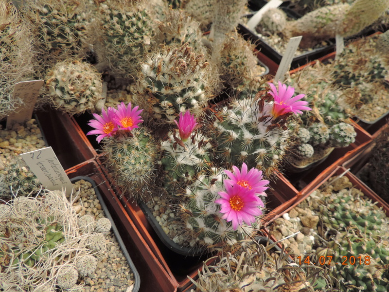 Cacti and Sukkulent in Köln, every day new flowers in the greenhouse Part 196 Bild_595