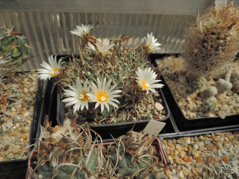Cacti and Sukkulent in Köln, every day new flowers in the greenhouse Part 196 Bild_596