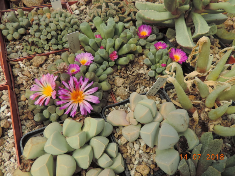 Cacti and Sukkulent in Köln, every day new flowers in the greenhouse Part 196 Bild_599