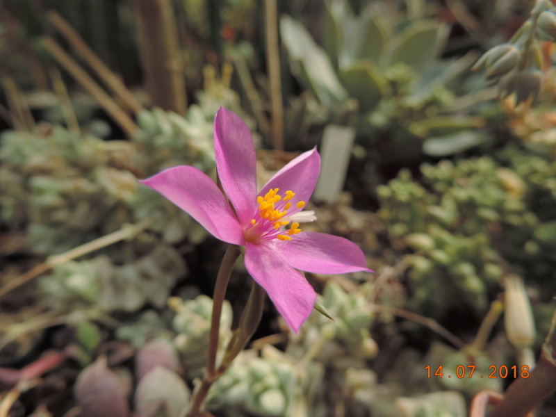 Cacti and Sukkulent in Köln, every day new flowers in the greenhouse Part 196 Bild_608