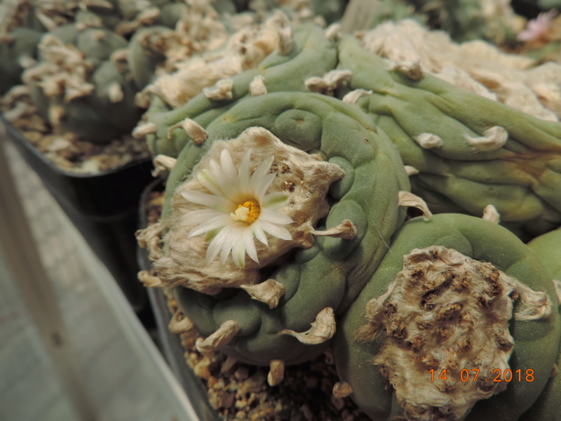 Cacti and Sukkulent in Köln, every day new flowers in the greenhouse Part 196 Bild_609