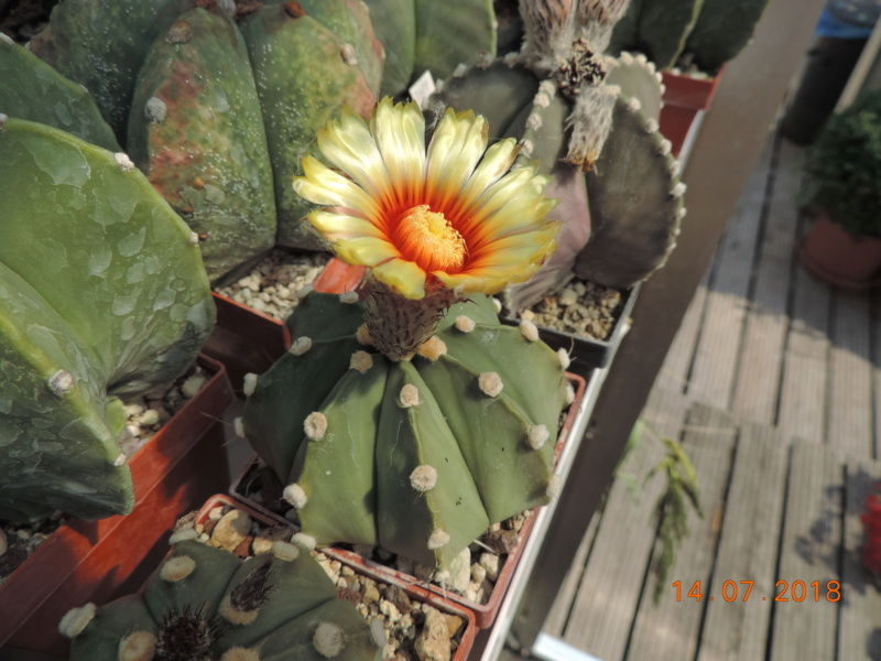 Cacti and Sukkulent in Köln, every day new flowers in the greenhouse Part 196 Bild_624