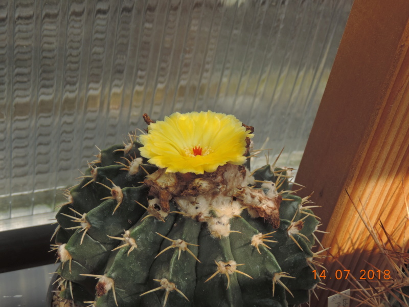 Cacti and Sukkulent in Köln, every day new flowers in the greenhouse Part 196 Bild_626