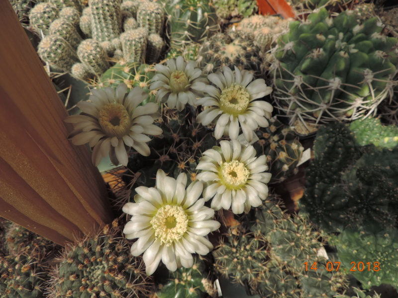 Cacti and Sukkulent in Köln, every day new flowers in the greenhouse Part 196 Bild_627
