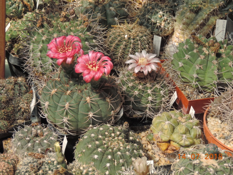 Cacti and Sukkulent in Köln, every day new flowers in the greenhouse Part 196 Bild_628