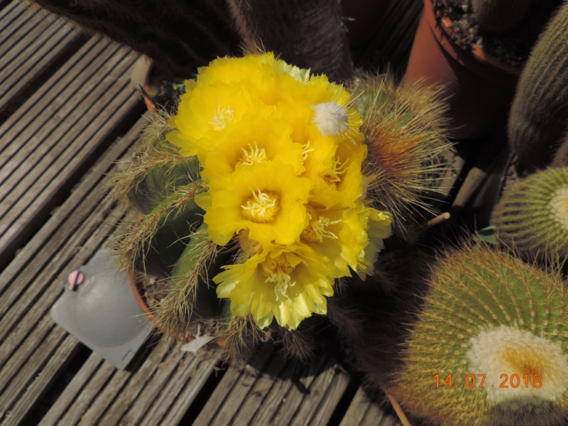 Cacti and Sukkulent in Köln, every day new flowers in the greenhouse Part 196 Bild_631