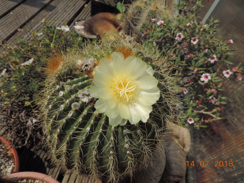 Cacti and Sukkulent in Köln, every day new flowers in the greenhouse Part 196 Bild_632