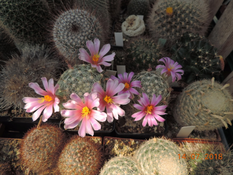Cacti and Sukkulent in Köln, every day new flowers in the greenhouse Part 196 Bild_633