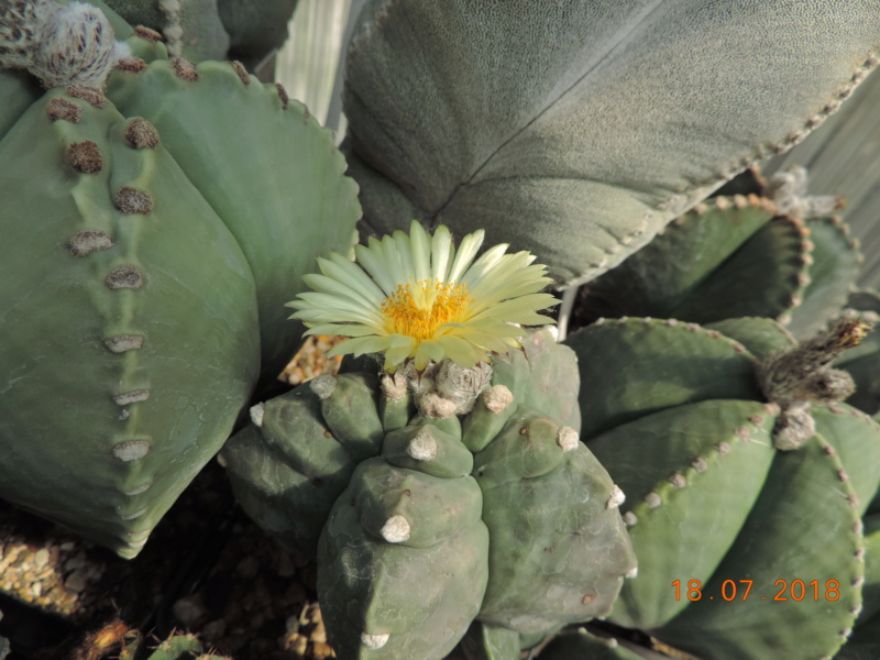 Cacti and Sukkulent in Köln, every day new flowers in the greenhouse Part 196 Bild_635