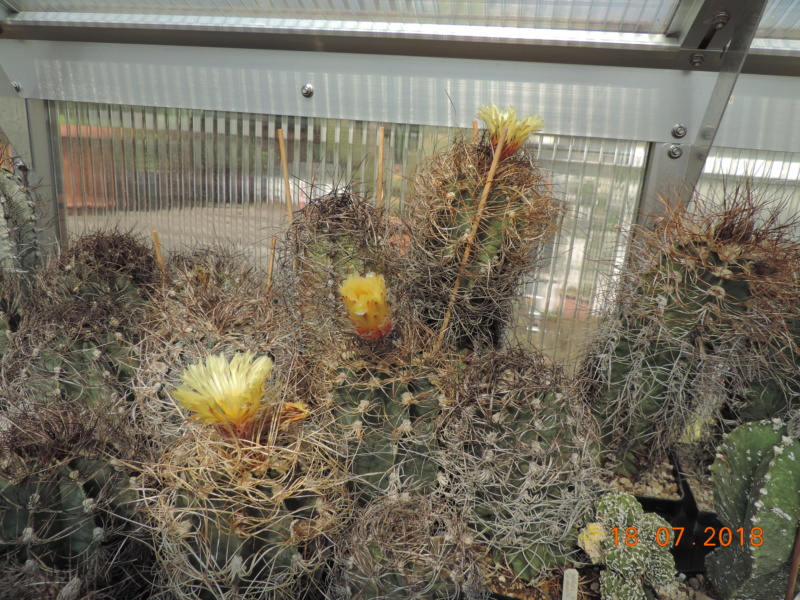 Cacti and Sukkulent in Köln, every day new flowers in the greenhouse Part 196 Bild_636