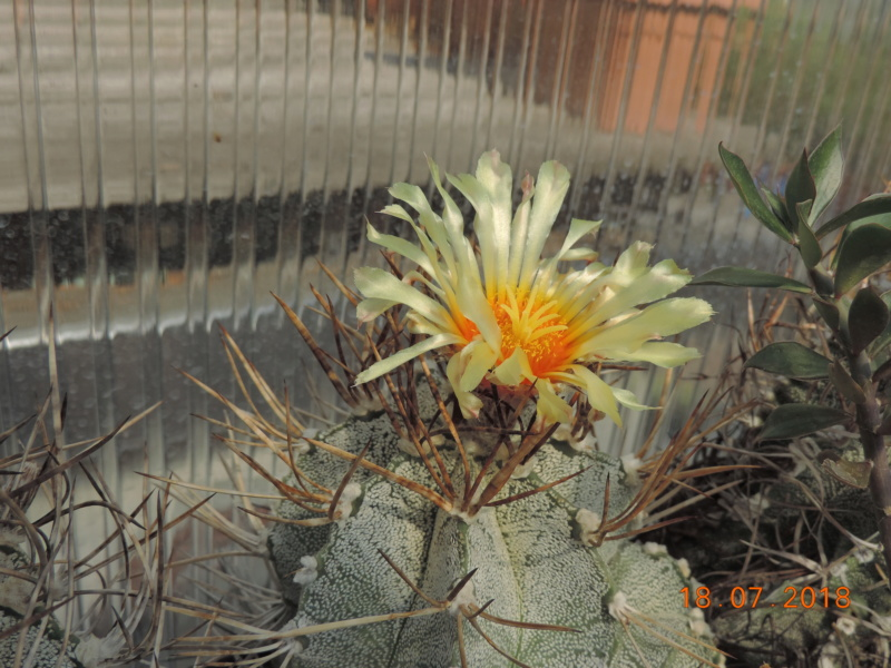 Cacti and Sukkulent in Köln, every day new flowers in the greenhouse Part 196 Bild_639