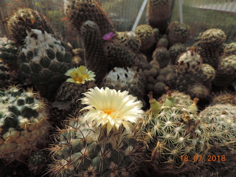 Cacti and Sukkulent in Köln, every day new flowers in the greenhouse Part 196 Bild_641