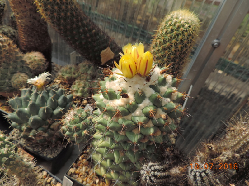 Cacti and Sukkulent in Köln, every day new flowers in the greenhouse Part 196 Bild_642