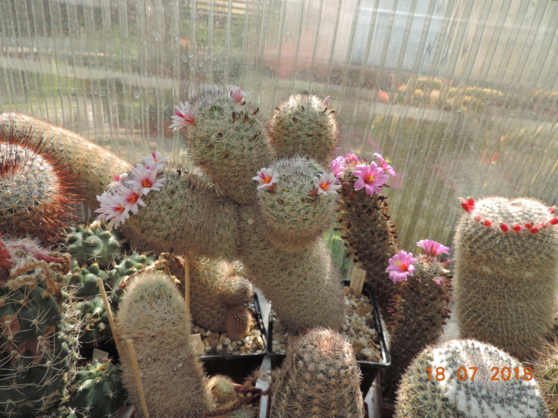 Cacti and Sukkulent in Köln, every day new flowers in the greenhouse Part 196 Bild_646