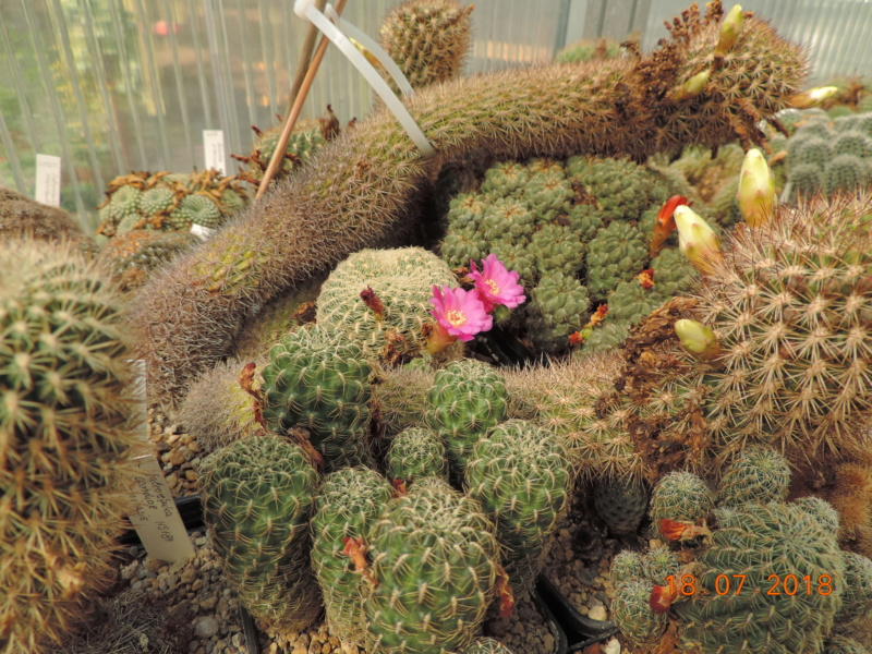 Cacti and Sukkulent in Köln, every day new flowers in the greenhouse Part 196 Bild_648